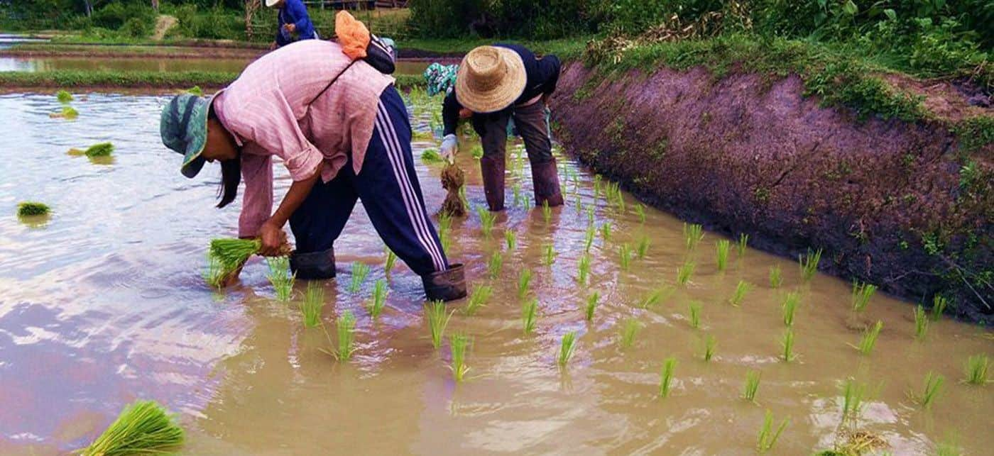 Plantation du riz a Chiang Mai - Rizieres